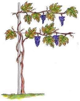 Cara società, questa vigna non dà uva…