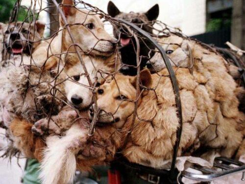 L'orrore del 'festival' di Yulin in Cina che neppure la pandemia ha fermato