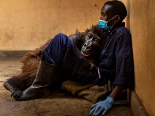 La gorilla morta tra le braccia del suo custode