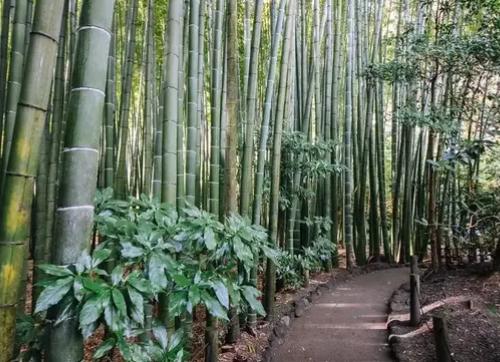 Bambù: assicurerà davvero il futuro sostenibile dell' industria tessile, edile e tecnologia?